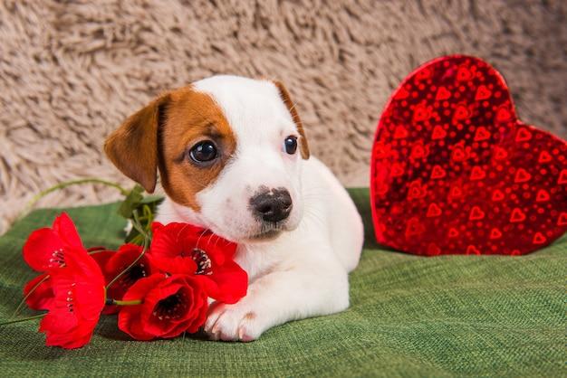 Szczeniak jack russell terrier leży jak anioł z czerwonym sercem i kwiatami. kartka na walentynki.