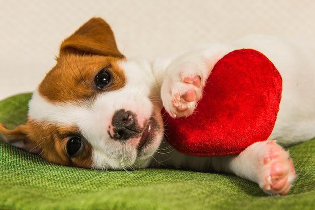 Szczeniak jack russell terrier leży jak anioł z czerwonym sercem. kartka na walentynki.