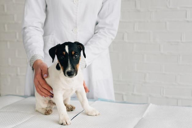 Szczeniak jack russell terrier na wizytę u lekarza, krótki płaszcz, pies z bliska, miejsce na tekst