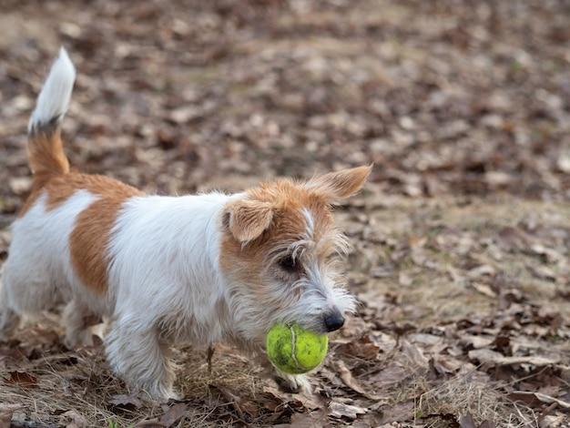 Szczeniak jack russell terrier niesie piłkę tenisową w lesie