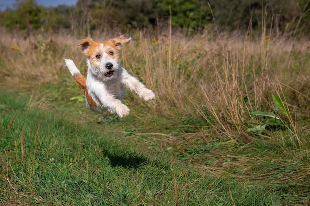 Szczeniak jack russell terrier skaczący na zielonej trawie