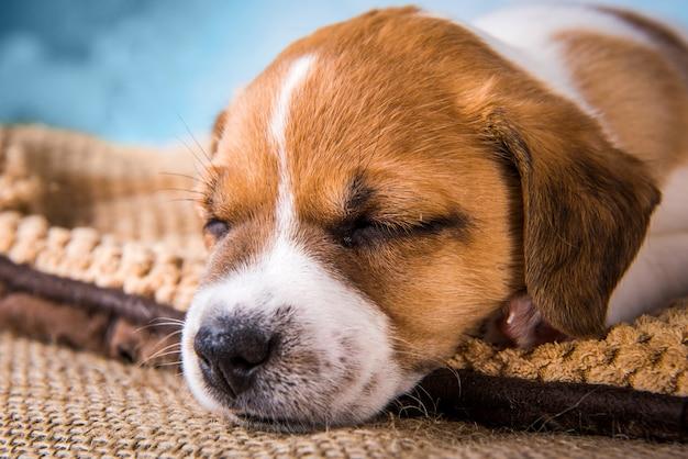 Szczeniak jack russell terrier śpi słodko na miękkim łóżku