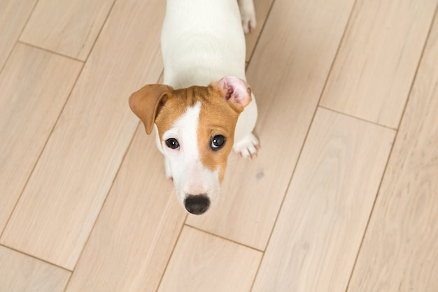 Szczeniak jack russell terrier