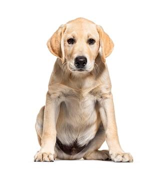 Szczeniak kremowy labrador stoi w aparacie, na białym tle