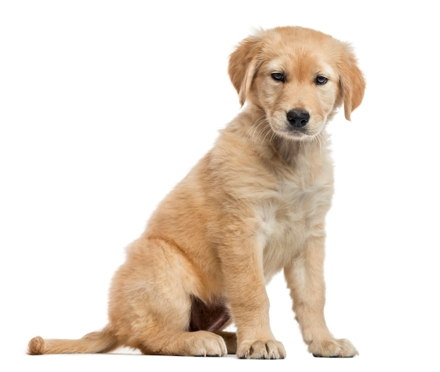 Szczeniak labrador krzyżówka, siedzi i patrzy w dół, na białym tle