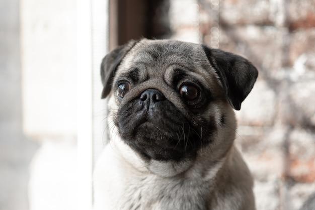 Szczeniak mops siedzi smutno na oknie.