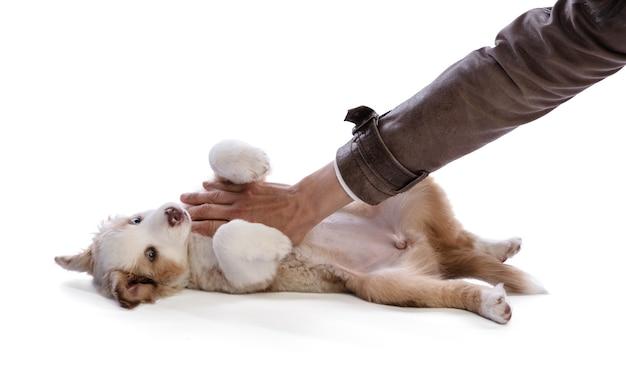 Szczeniak owczarka australijskiego na grzbiecie z ręką kochanki, która pieści go na białym tle
