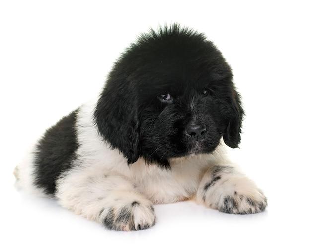 Szczeniak pies nowofundland przed białym tle