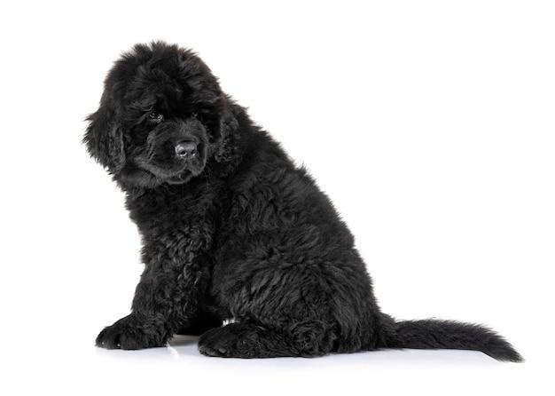 Szczeniak pies nowofundland przed białym