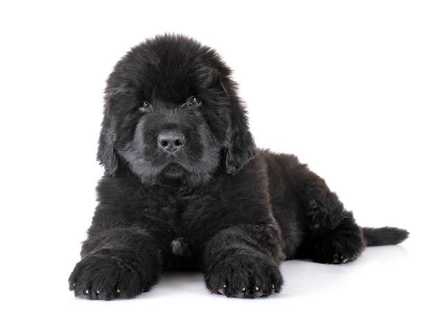 Szczeniak pies nowofundland