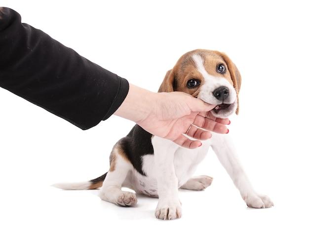 Szczeniak pies rasy beagle do żucia na rękę na białej przestrzeni