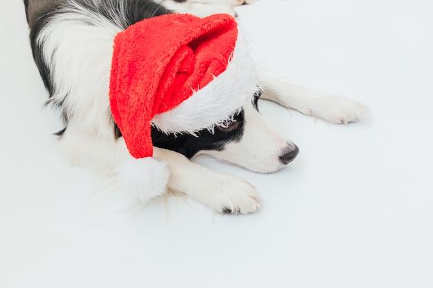 Szczeniak pies rasy border collie na sobie boże narodzenie kostium czerwony kapelusz świętego mikołaja na białym tle