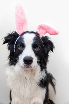 Szczeniak pies rasy border collie sobie uszy easter bunny na białym tle