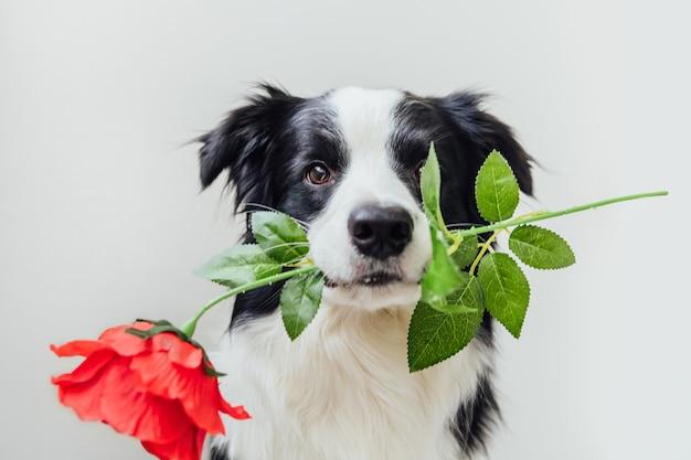 Szczeniak pies rasy border collie trzymając czerwony kwiat róży w ustach na białym tle