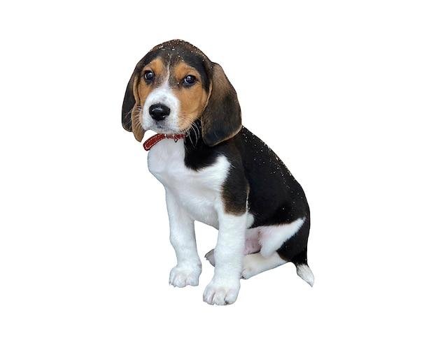 Szczeniak rasy beagle na białym tle. badanie ras psów, fotografie zwierząt domowych.
