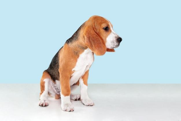 Szczeniak rasy beagle na niebiesko