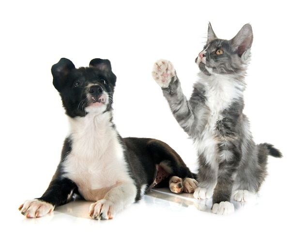 Szczeniak rasy border collie i kotek