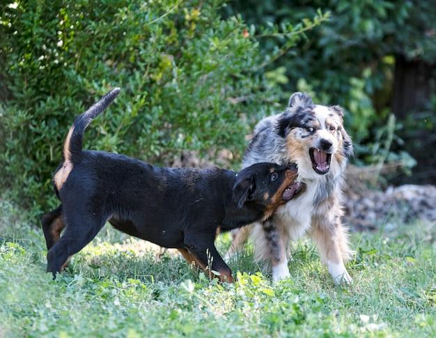 Szczeniak rottweiler bawi się latem z owczarkiem australijskim na łonie natury