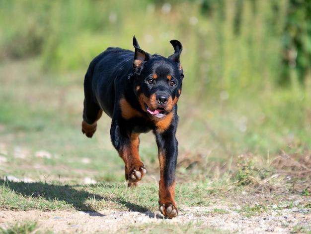 Szczeniak rottweiler biegający w naturze latem