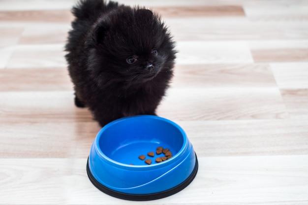 Szczeniak spitz jedzenie na podłodze w kuchni