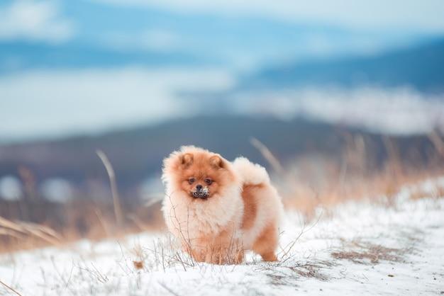 Szczeniak spitz w górach w zimie