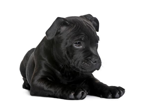Szczeniak staffordshire bull terrier z 2 miesiącami. portret psa na białym tle