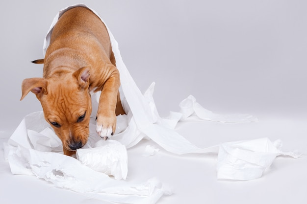 Szczeniak staffordshire terrier i rolka papieru toaletowego