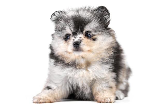 Szczeniak szpic pomorski na białym tle. ładny szary czarno-biały pomorskim pies na białym tle. rasowy szpic, przyjazny dla rodziny zabawny pies pom.
