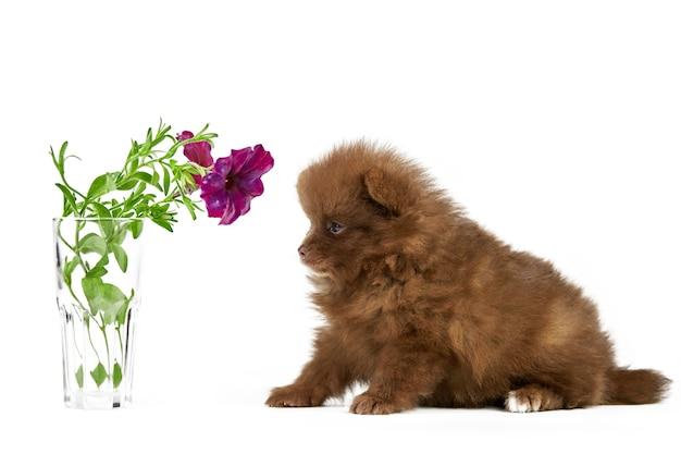 Szczeniak szpic pomorski na białym tle z kwiatem. ładny brązowy pomorskim pies na białym tle. rasowy szpic, przyjazny dla rodziny zabawny pies pom.