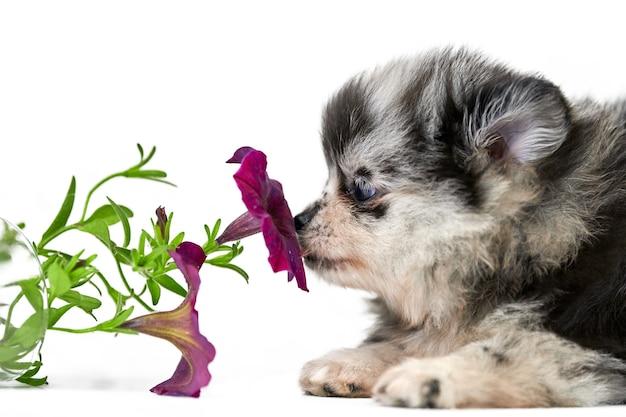 Szczeniak szpic pomorski na białym tle z kwiatem. ładny szary czarno-biały pomorskim pies na białym tle. rasowy szpic, przyjazny dla rodziny zabawny pies pom.