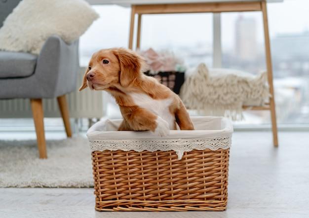 Szczeniak toller zabawy siedząc w koszyku w domu