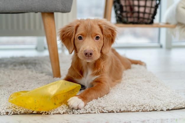 Szczeniak toller zabawy z psimi zabawkami na dywanie w domu