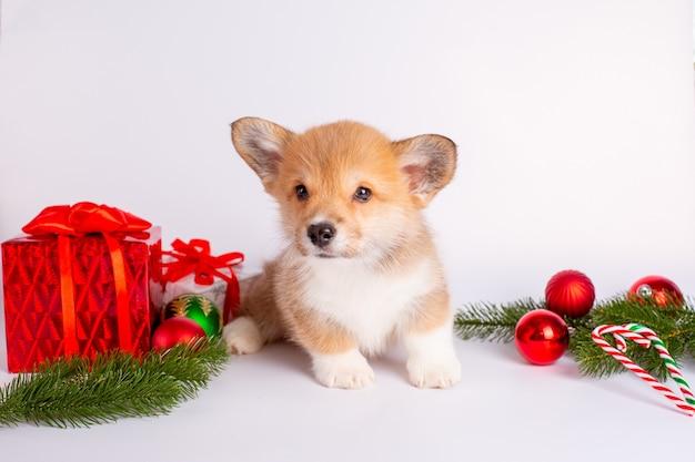 Szczeniak walijski corgi z prezentami na świątecznym tle