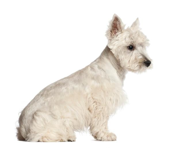 Szczeniak west highland white terrier, 6 miesięcy, siedzący na białym tle