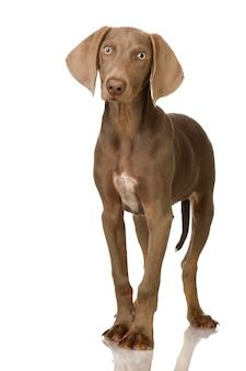 Szczeniak wyżeł weimarski. portret psa na białym tle