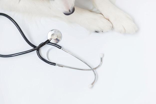 Szczeniaka psa border collie łapy i stetoskop odizolowywający