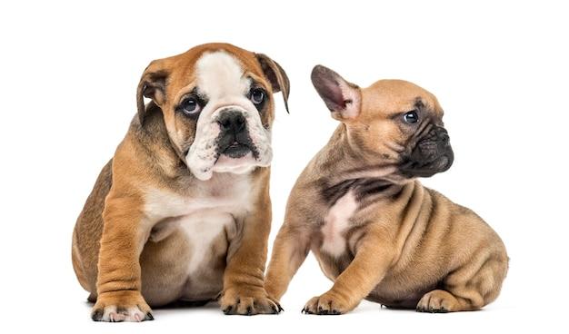 Szczeniaki bulldog siedzi, na białym tle