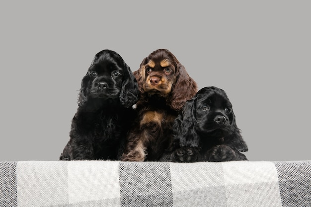 Szczeniaki cocker spaniel amerykański śliczne ciemno czarne pieski lub zwierzaki bawiące się na szarym tle.