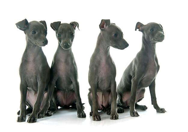 Szczeniaki greyhound