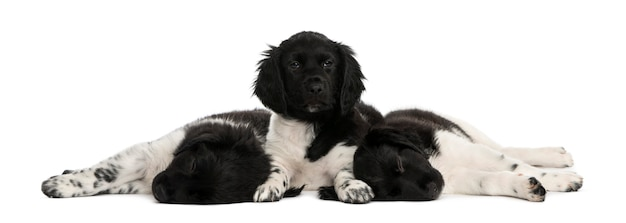 Szczeniaki stabyhoun leżącej razem odpoczynku na białym tle