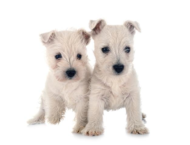 Szczeniaki west highland white terrier przed białym tle
