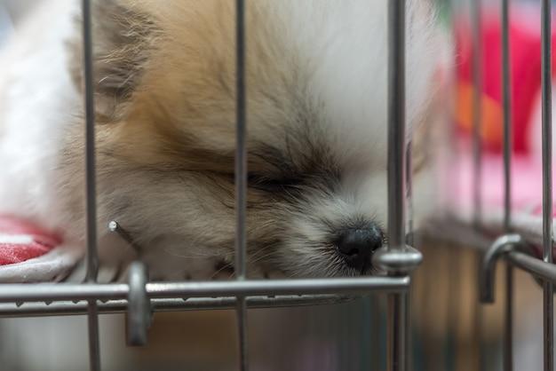 Szczenię rasy pomorskim, tak słodko śpi samotnie w klatce psa ze smutkiem i samotny w oku
