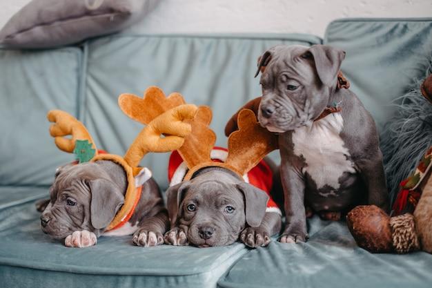Szczenięta american bully leżą na kanapie przed bożym narodzeniem. bully szczenięta w eleganckich czapkach.