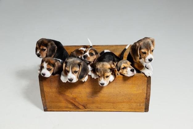 Szczenięta beagle tricolor pozują w drewnianym pudełku. śliczne pieski lub zwierzęta domowe bawiące się na białej ścianie. wyglądaj uważnie i wesoło. pojęcie ruchu, ruchu, akcji. negatywna przestrzeń.