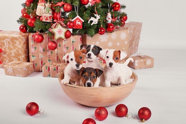 Szczenięta jack russell terrier w noworocznym wnętrzu