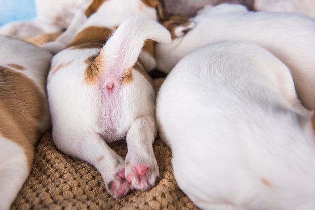 Szczenięta jacka russell terriera słodko śpią na miękkim łóżku