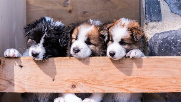 Szczenięta psów rasy thai bangkaew
