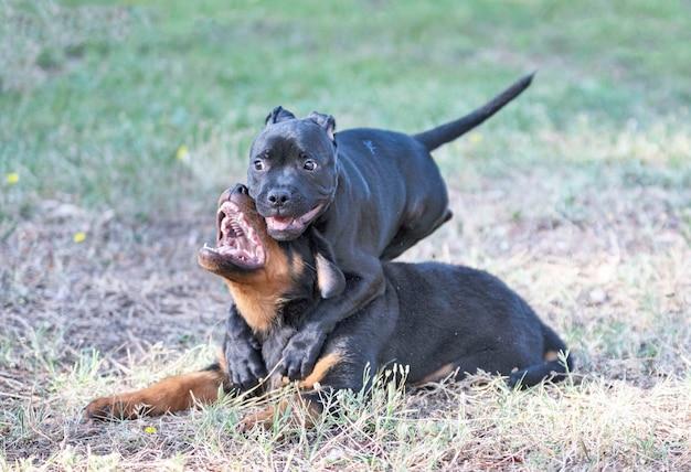 Szczenięta staffordshire bull terrier i rottweiler bawiące się w ogrodzie