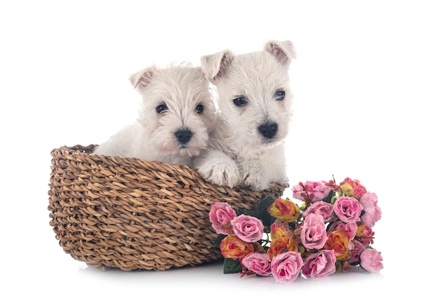 Szczenięta west highland white terrier