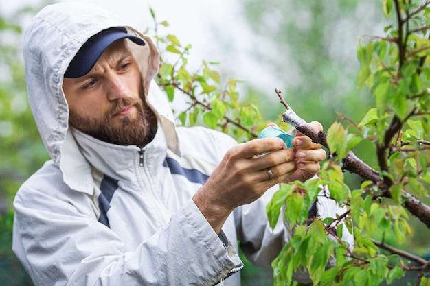 Szczepienie drzewa morelowego z sadzonkami na korę. ogrodnik owija przeszczepione miejsce taśmą do szczepienia.